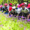 ピンクの庭園に甘い香り 内山の「こもれび」サクラソウ開花