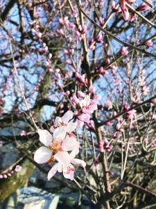 佐久地方で最も早い開花 マルイ産業(小諸市和田工業団地)  佐久地方で最も早く開花することで知られているロトウザクラ。会社の正門前の1本から咲き始め、陽気とともに周囲の木に広がっていく。全国的に開花が早まった昨年は3月20日頃に開花した。  工業団地が完成した30年ほど前に、小諸市開発公社が植栽した桜並木。春を先取りする縁起物として、年々知名度も高まってきた。同社は家畜や魚用飼料を製造しているが、「サクラに飼料を与えているわけではなく、何でこんなに早く咲くのかは不明」(伊藤辰治社長)とのこと。