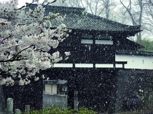 佐久地方唯一の「名所100選」 小諸城址・懐古園(小諸市古城)  小諸発祥の小諸八重紅枝垂をはじめ約5百本のサクラが咲き誇る。佐久地方で唯一の「日本さくら名所100選」に選定されている名所だ。  記録的な早さだった昨年は4月3日に開花。園内は一気に桜色に染まったが、その5日後には雪が降り、幻想的な景色を写真におさめようと多くの写真愛好家が集まった。  4月6日(土)からは恒例の「桜まつり」が始まり、25日(木)までの期間中は呈茶やガイド案内、ライトアップなどが行われ、全国各地からの観光客でにぎわう。昨年は期間中に葉桜になってしまったが、今年は…