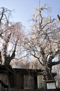 2本の木に赤と白の花 咲き分けの桜(佐久市根岸)  佐久市根岸の五本木集落にある2本のエドヒガンザクラ。樹齢は推定で2百年、高さは19㍍あり見ごたえは十分。通りから少し奥に入った場所にあるため、「知る人ぞ知る」という存在だ。  2本のうち1本に赤い花、もう1本に白い花を咲かせることから、「咲き分けの桜」と呼ばれるようになった。ただ、古文書などの資料はないため詳しい歴史的な由来ははっきりしていない。